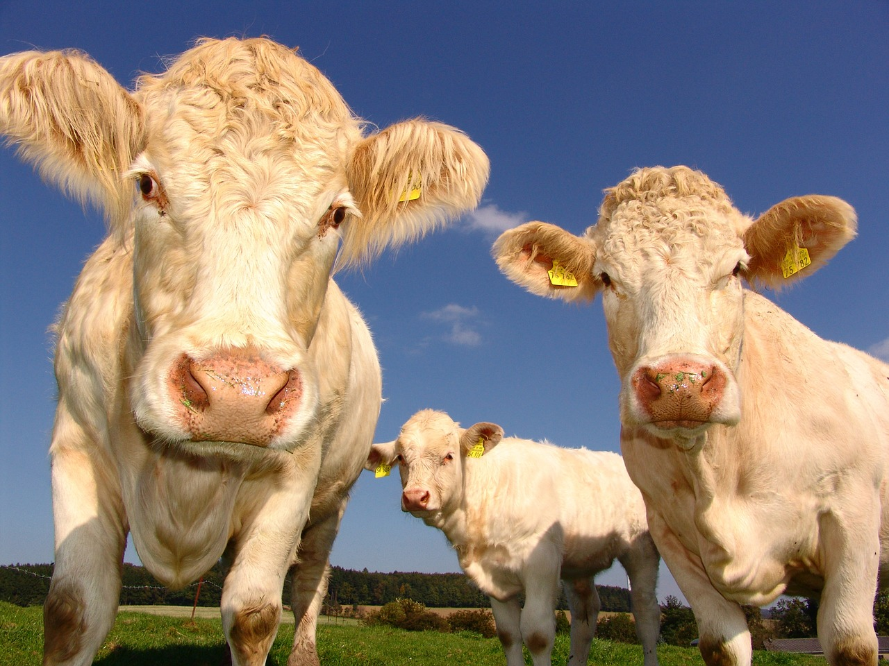 A group of cows